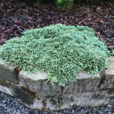 Можжевельник горизонтальный АС (Juniperus horizontalis) р9 стелющийся кустарник, 15-20 см диаметр