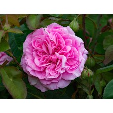 Роза Гертруда Джекилл (Gertrude Jekyll), C2