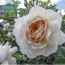 Роза Крокус Роуз (Crocus Rose), C2