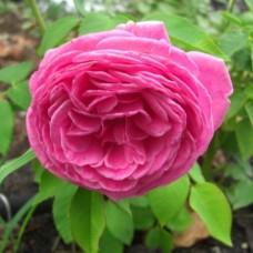 Роза Мадам Исаак Перрье (Madame Isaac Pereire), C2