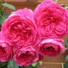 Роза Пинк Клауд (Pink Cloud), C2
