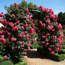 Роза Розариум Ютерсен (Rosarium Uetersen), C2