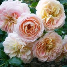 Роза Концерто 94 (Concerto 94) C2