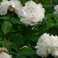 Роза Уайт Жак Картье (White Jacques Cartier) C2