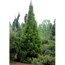 Пихта белая Pyramidalis (Abies alba Pyramidalis) С5 конусовидный сорт, 55-65см высоты