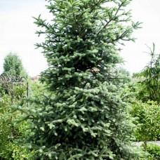 Пихта испанская Келлериис (Abies pinsapo Kelleriis) С5 небольшое дерево в форме неправильного конуса, 60-70см высоты