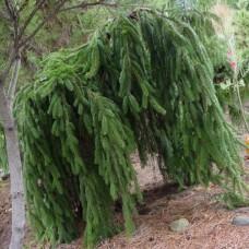 Пихта кавказская Pendula (Abies nordmanniana) С3 привитая