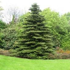 Пихта корейская (Abies koreana) С2 дерево ширококонической формы, 15-20см высоты