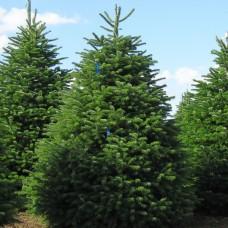 Пихта кавказская Kulista (Abies normanniana) С3 компактное дерево, 30-40см высоты