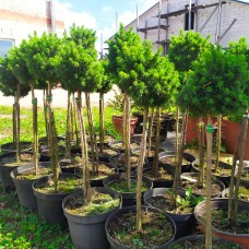 Бонсаи ель сизая Альберта Глоб (Picea glauca Alberta Globe) С3