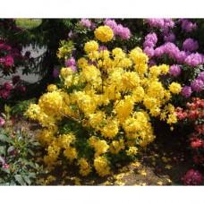 Азалия крупноцветковая Аннеке (Azalea hybridum Anneke) С3