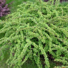Барбарис Тунберга Green Carpet (Berberis thunbergii) P9 низкий, стелющийся кустарник, 20-25см диаметр