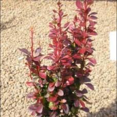 Барбарис Тунберга Red Pilar (Berberis thunbergii) C2