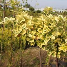 Бересклет Форчуна Emerald n Gold (Euonymus fortunei) на штамбе С3 привитая форма, 110-120см высоты