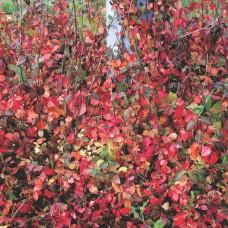 Бересклет Форчуна Колоратус (Euonymus fortunei Coloratus) p9