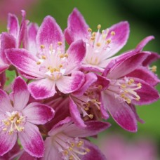 Дейция гибридная Strawberry Fields (Deutzia x hybrida) С3