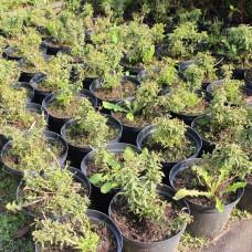 Форзиция темно-зеленая Bronxensis С2
