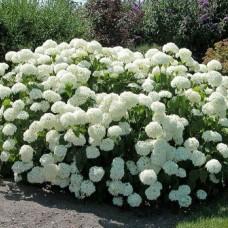 Гортензия древовидная Annabelle (Hydrangea arborescens) C5
