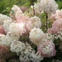 Гортензия метельчатая Бобо (Hydrangea paniculata Bobo) С2