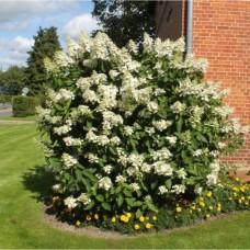Гортензия метельчатая Киушу (Hydrangea paniculata Kyushu) С3 цветущий кустарник