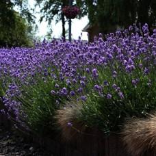 Лаванда узколистная Блю (Lavandula angustifolia Blue) C1
