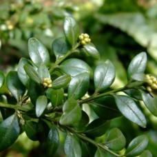 Самшит вечнозеленый (Buxus sempervirens) Р9