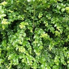 Самшит вечнозеленый (Buxus sempervirens) Р9 густой кустарник, 15-20см высоты