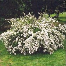 Спирея ниппонская Snowmound (Spireea nipponica) C2