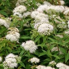 Спирея японская Albiflora С2
