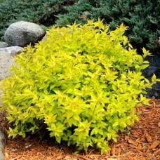 Спирея японская Голдмаунд (Spiraea japonica Goldmound) С2 плотный полукруглый кустарник
