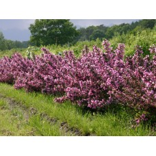 Вейгела цветущая Nana Purpurea (Weigela florida) C2