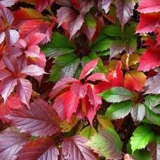 Виноград девичий Redwall (Parthenocissus quinquefolia) р9 растение для вертикального озеленения