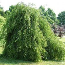 Береза бородавчатая Youngii (Betula pendula) C10