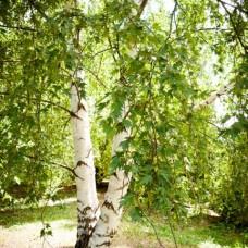 Береза плакучая Laciniata (Betula pendula) C30