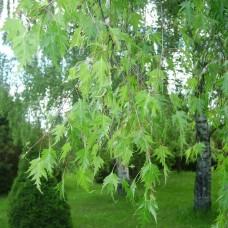 Береза плакучая Laciniata (Betula pendula) С30 дерево с раскидистой кроной, 130-150см высоты