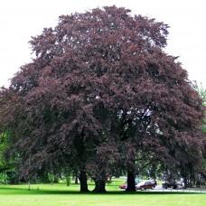Бук лесной Атропуницеа (Fagus sylvatica Atropunicea) С7,5 дерево с округлой кроной, 150-170см высоты
