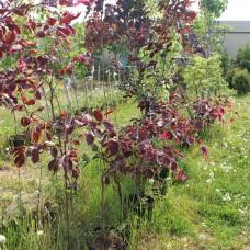 Бук лесной Purpurea Tricolor (Fagus sylvatica) С5