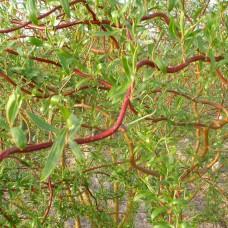 Ива вавилонская Tortuosa (Salix Babylonica Tortuosa) C2