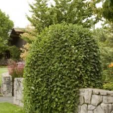 Ива козья Килмарнок (Salix caprea Kilmarnock) C5