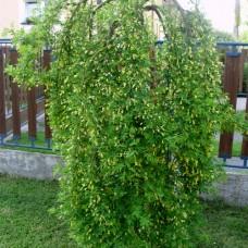 Карагана (Акация желтая) Pendula (Caragana arborescens) С5 дерево с прямой конической кроной, 100-110см высоты