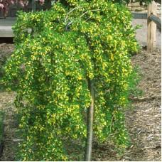 Карагана (Акация желтая) Pendula (Caragana arborescens) С5