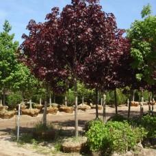 Клён остролистный Роял Ред (Acer platanoides Royal Red) С7,5