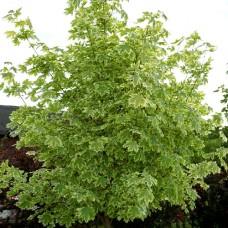 Клён остролистный Drummondi (Acer platanoides) С25