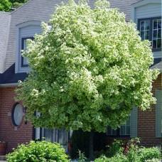 Клён остролистный Drummondi (Acer platanoides) С7,5