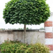 Клён остролистный Globosum (Acer platanoides) С7,5