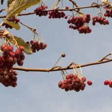 Рябина ария или круглолистная (Sorbus aria Magnifica) С24