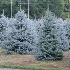Ель голубая Kaibab (Picea pungens) С2 конусовидная форма, 20-25см высоты