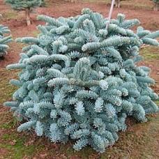 Ель колючая Barabits Compact (Picea pungens) С3 плоскошарообразный сорт, 30-40см высоты