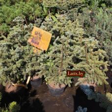 Ель колючая Barabits Compact (Picea pungens) С5