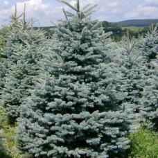Ель колючая Glauca Majestic Blue (Picea pungens) С2 вечнозеленое дерево, 30-35см высоты
